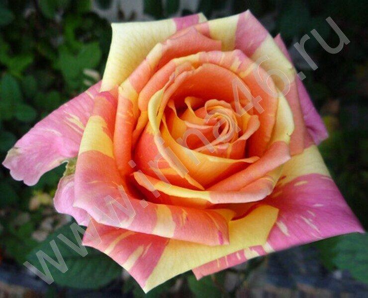 Роза чайно-гибридного сорта. .  Сорт срезочный.  Вернуться в каталог роз.